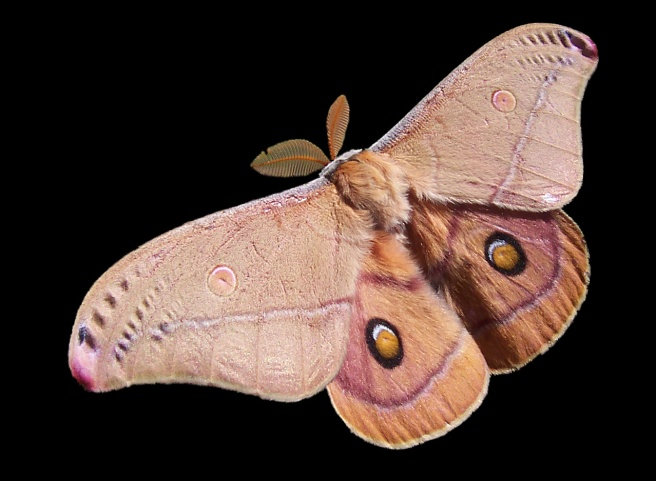Emperor_Gum_Moth